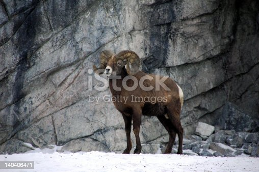 bighorn ram on the lookout in alberta, canada.