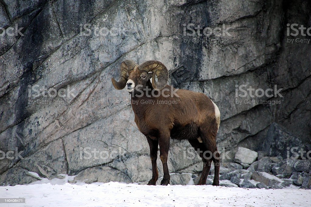 Bighorn ram – Foto