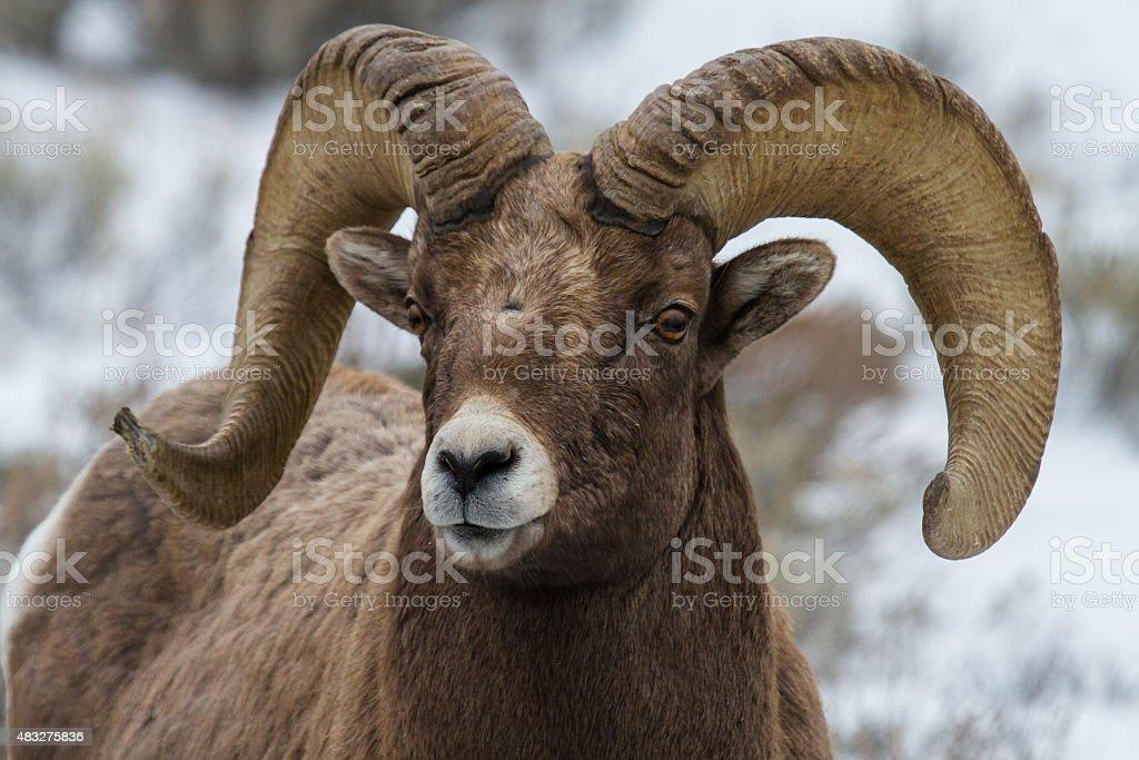 bighorn ram Porträt – Foto
