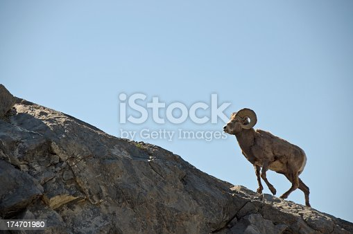 A bighorn sheep ram climbing a rocky ledge in the Rocky Mountains.