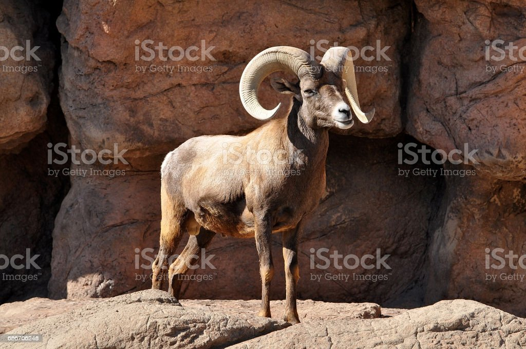Bighorn ram sheep with large curved horns standing on high rocks stock photo