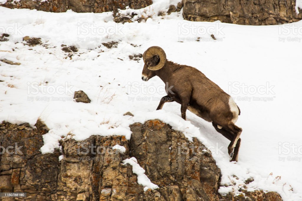 Bighorn ram, Yellowstone - Royalty-free Bighorn Sheep Stock Photo