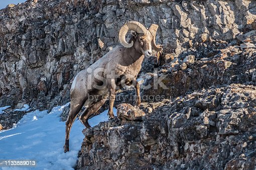 Bighorn rams climb and looking for food on a cliff in Yllowstone