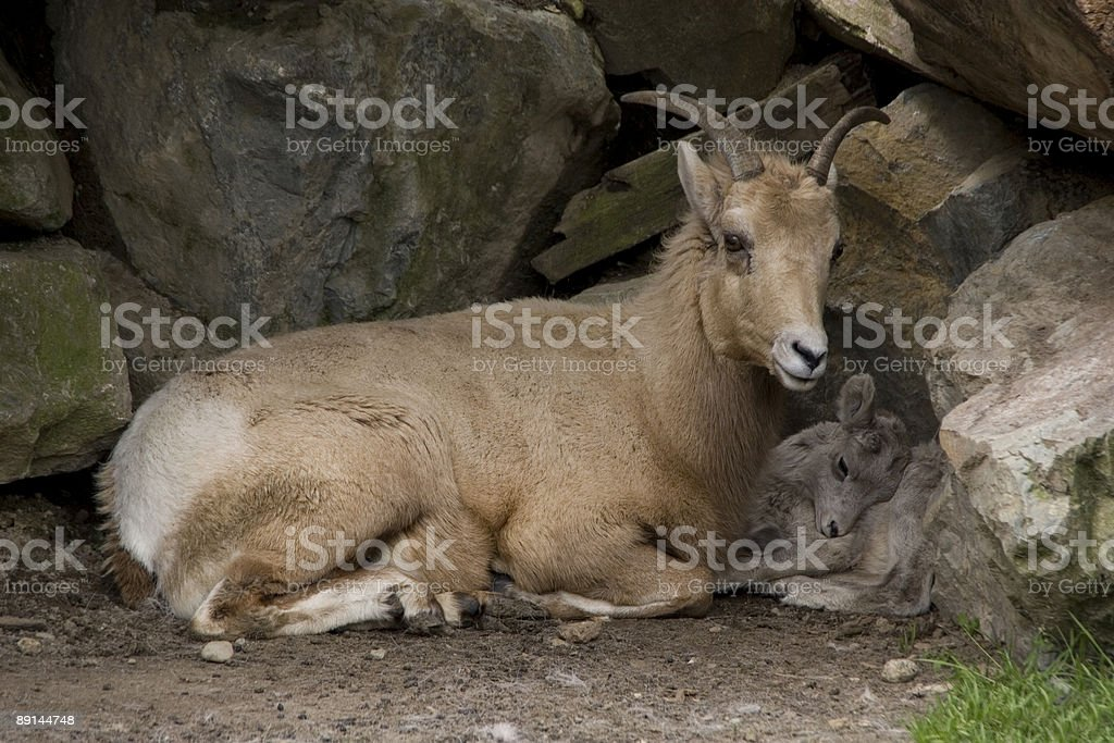 Bighorn Sheep and Baby stock photo