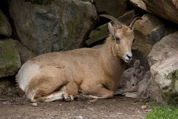 bighorn sheep and baby - spring stock photos and pictures