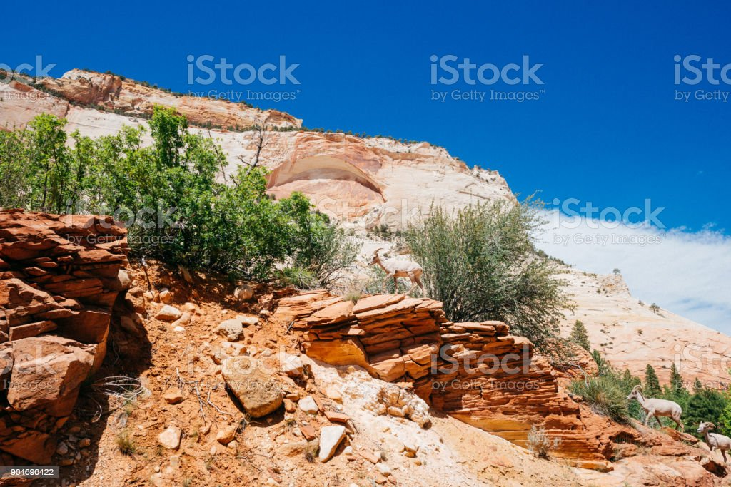 Bighorn Sheep Blend in Zion National Park Landscape royalty-free stock photo