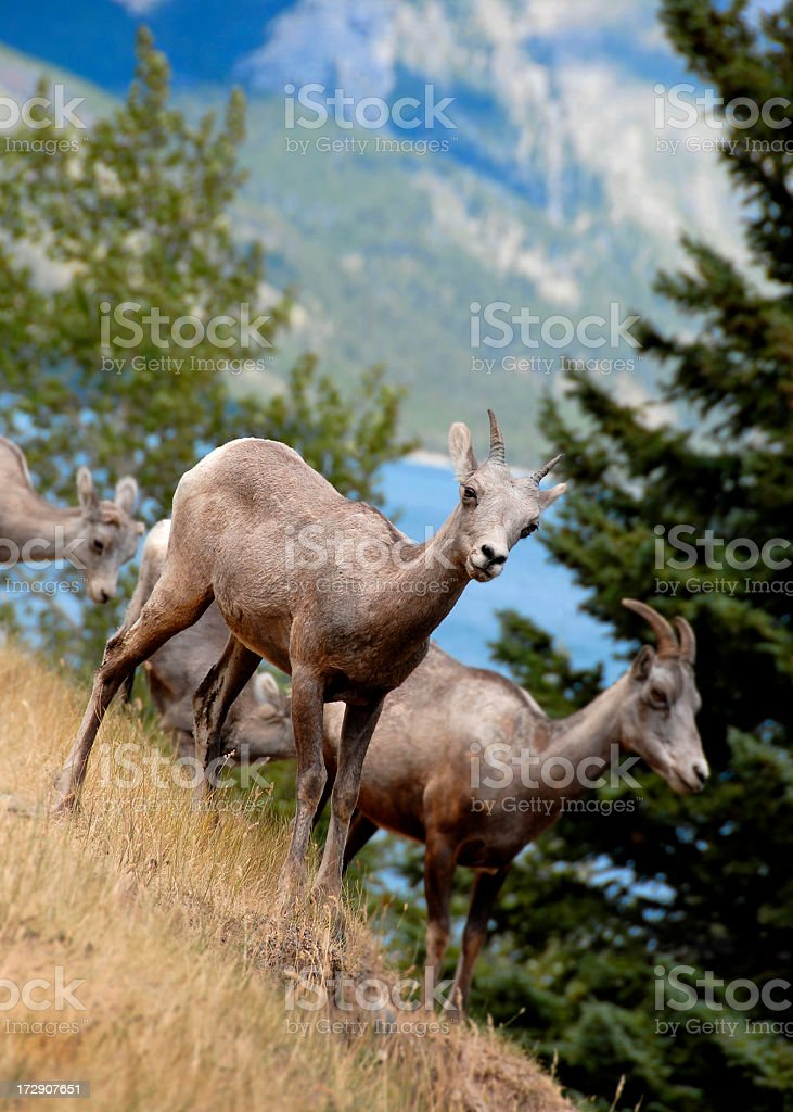 Bighorn Sheep by the Road, Banff National Park stock photo