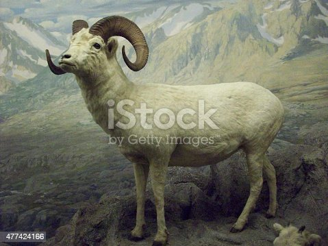 Bighorn sheep on display