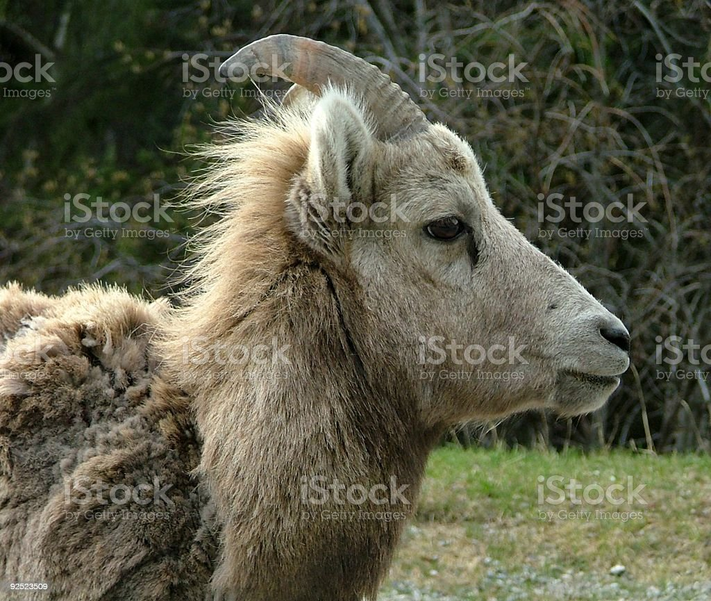 Bighorn Sheep Female royalty-free stock photo