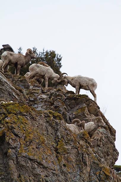 Bighorn Sheep Fighting stock photo