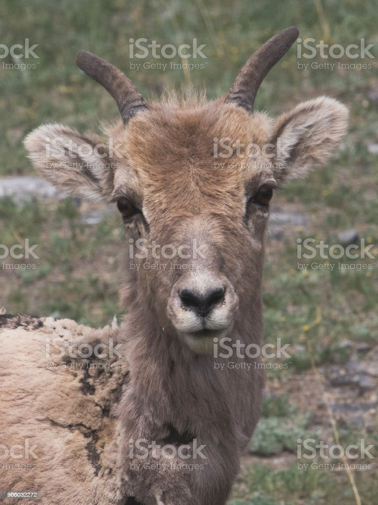 Bighorn sheep Grazing - Royalty-free Alberta Stock Photo