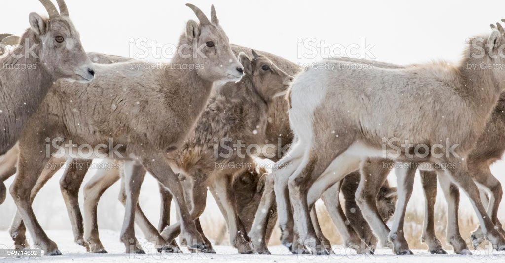 Bighorn Schafe zu hüten, Überfahrt von Boden und viele Hufe – Foto