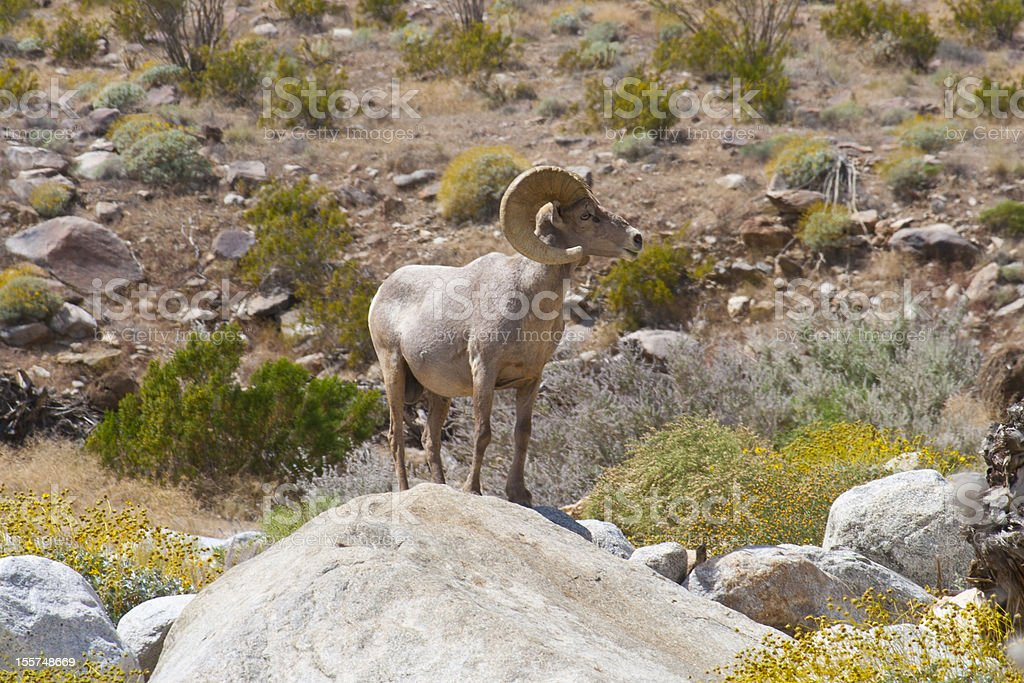 Bighorn Sheep in Anza Borrego Desert. stock photo