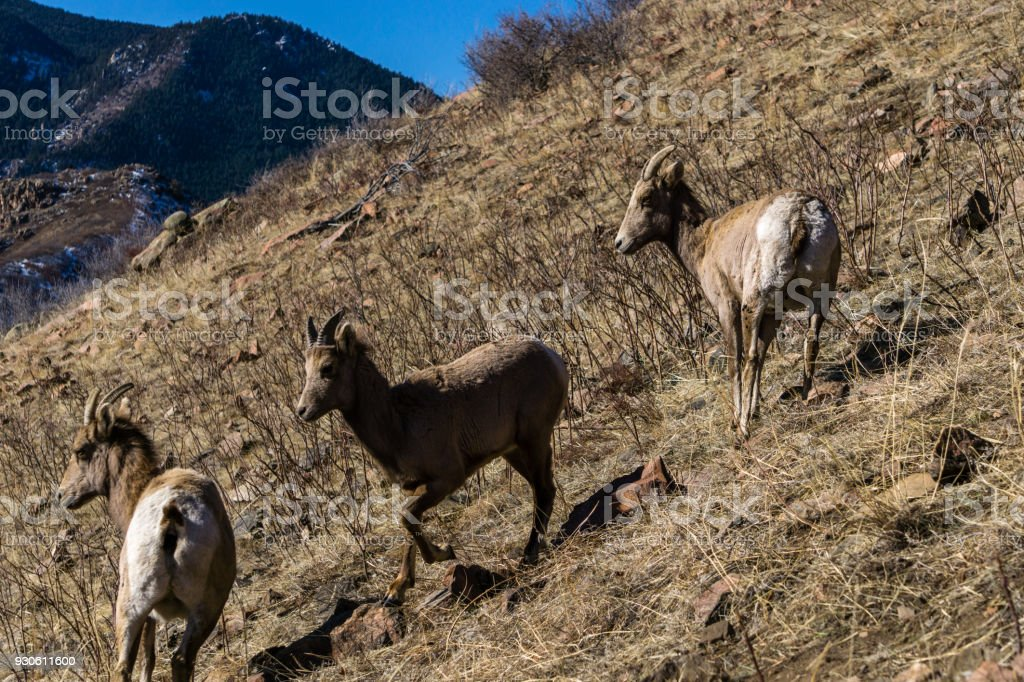 Bighorn Sheep In Colorado Mountains Stock Photo & More Pictures of ...