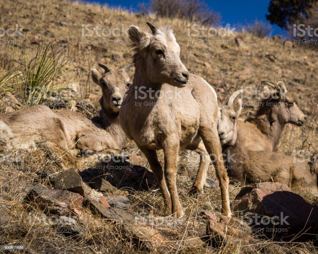 Bighorn Sheep in Colorado Mountains stock photo