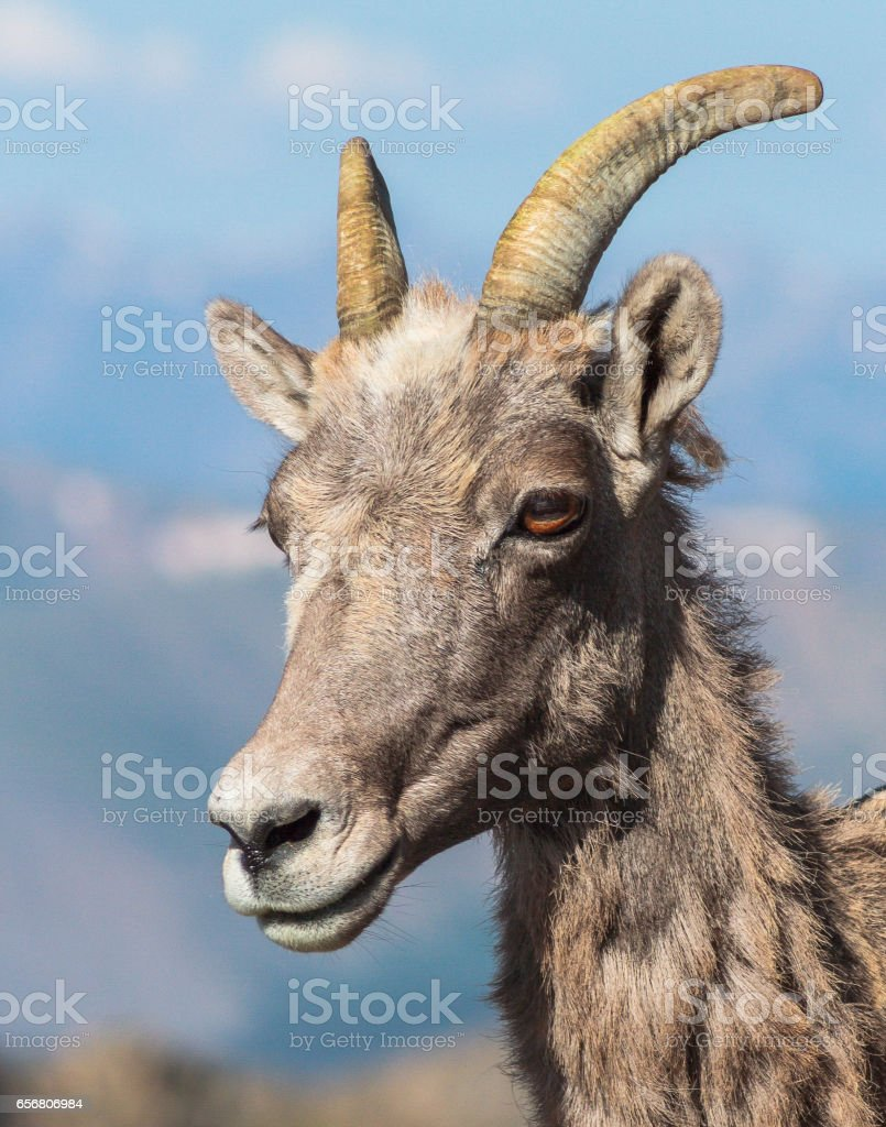 Bighorn Sheep in Colorado stock photo