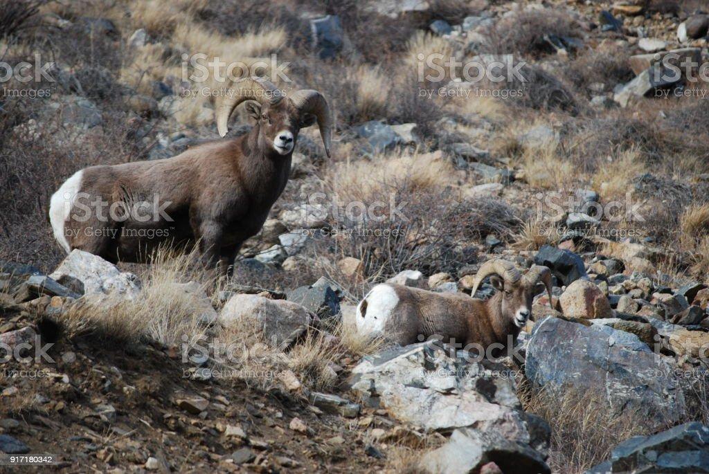 Bighorn Sheep in the Colorado Rockies stock photo