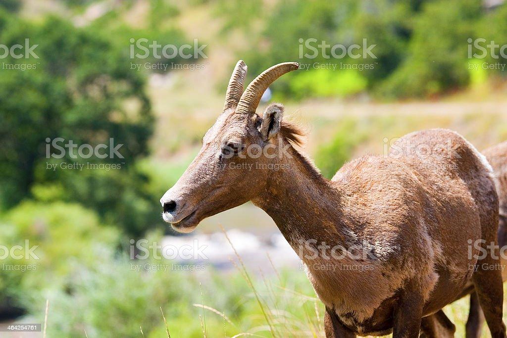Bighorn Sheep in Waterton Canyon Colorado stock photo