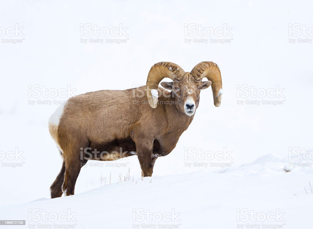 Bighorn Sheep in Winter royalty-free stock photo