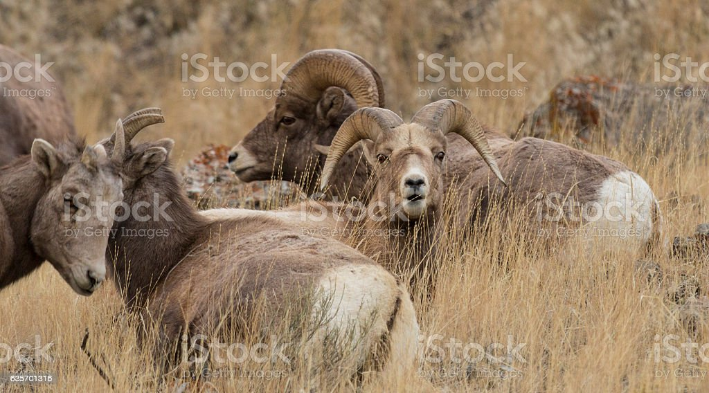 Bighorn Sheep in Yellowstone National Park, Wyoming. royalty-free stock photo