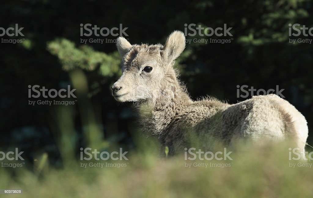 Bighorn Sheep Lamb royalty-free stock photo