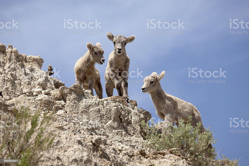 Bighorn sheep lambs Badlands National Park South Dakota royalty-free stock photo