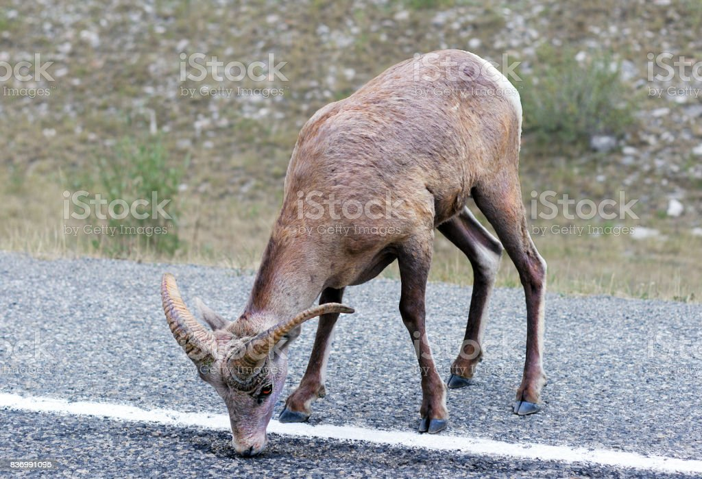 Bighorn sheep licking asphalt stock photo