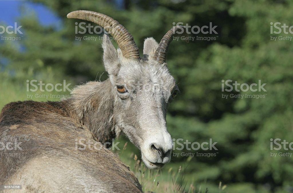 Bighorn Sheep Looking Around at Camera royalty-free stock photo