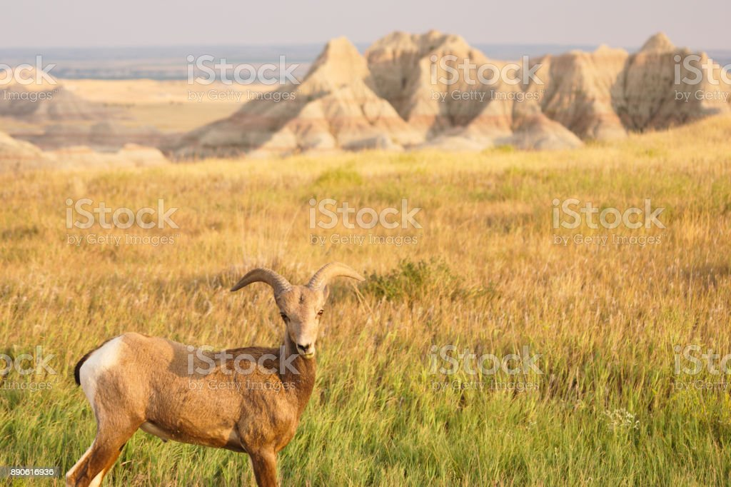 Bighorn Sheep Male Ram Badlands National Park South Dakota stock photo