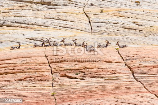 A family of bighorn sheep rests on a cliff in Utah.