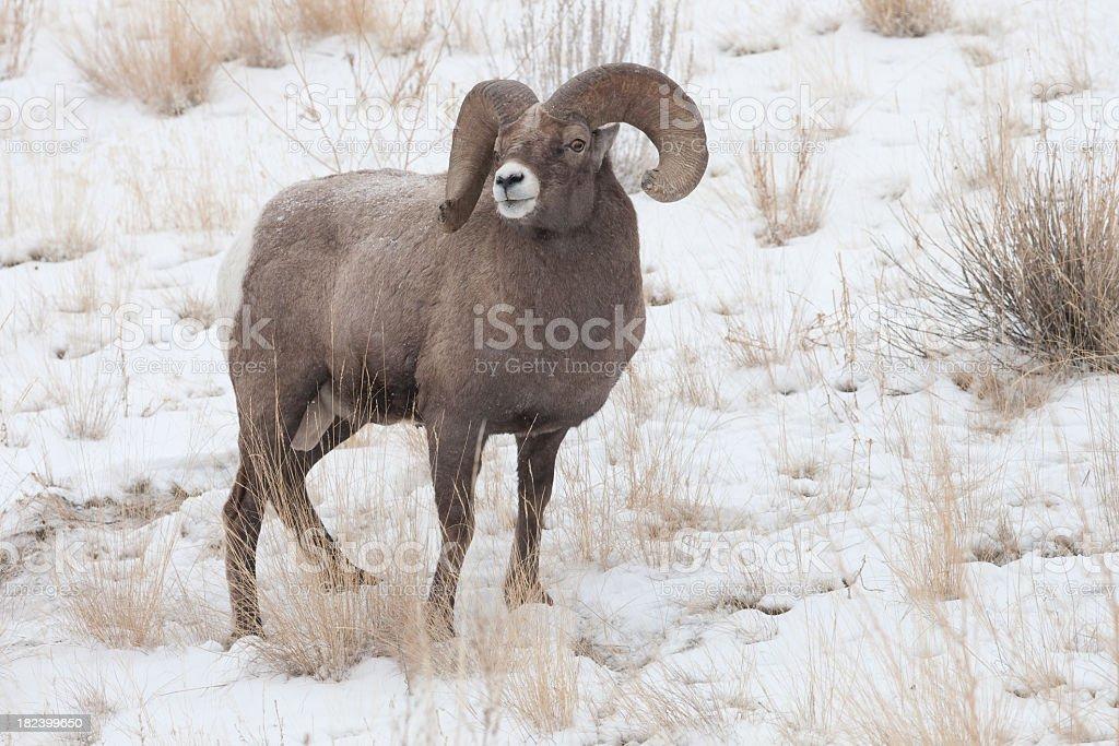 Bighorn Sheep royalty-free stock photo