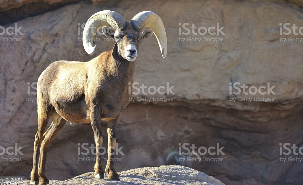 Bighorn Sheep (Ovis canadensis) stock photo