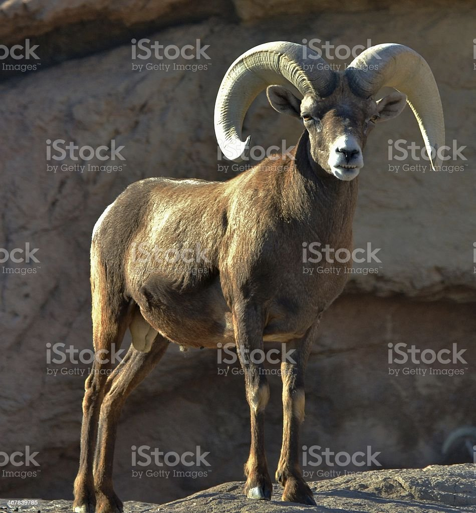 Bighorn Sheep (Ovis canadensis) royalty-free stock photo