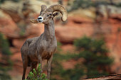 the watchman from parus trail in zion national park in the usa