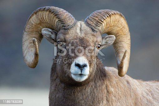 Rocky Mountain Bighorn Sheep in Gardiner Montana