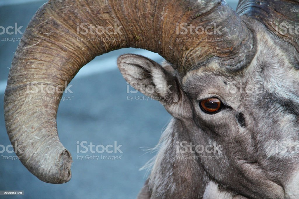 Bighorn Sheep Ram Eye Horn Stock Photo & More Pictures of Animal ...