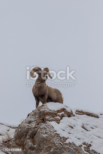 a bighorn sheep ram in winter in Wyoming