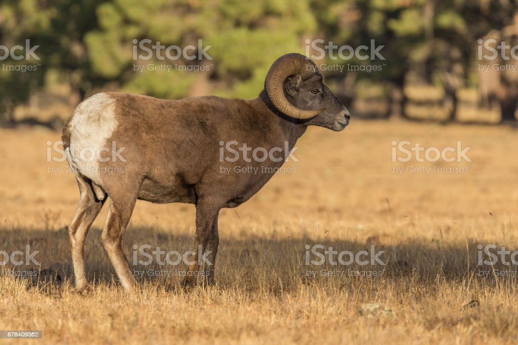 Bighorn Sheep Ram Stock Photo & More Pictures of Animal | iStock