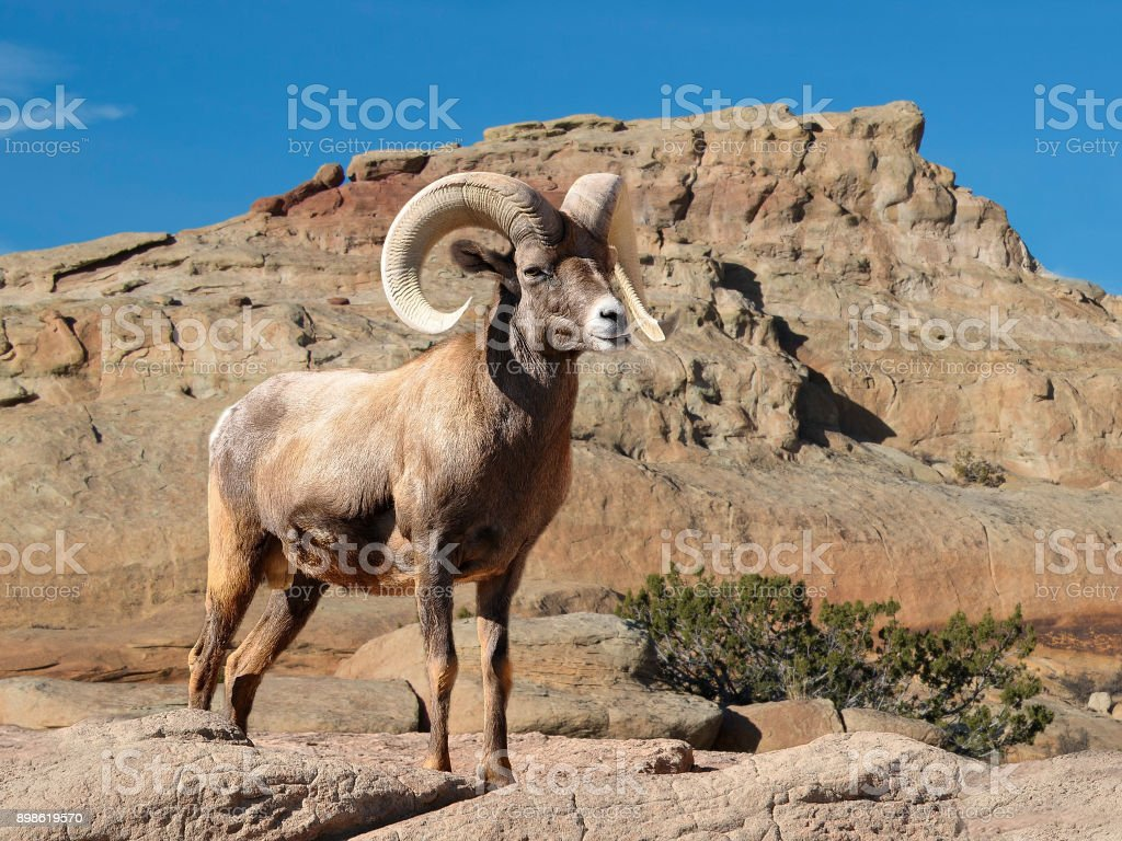 Bighorn sheep ram with large horns in the desert stock photo