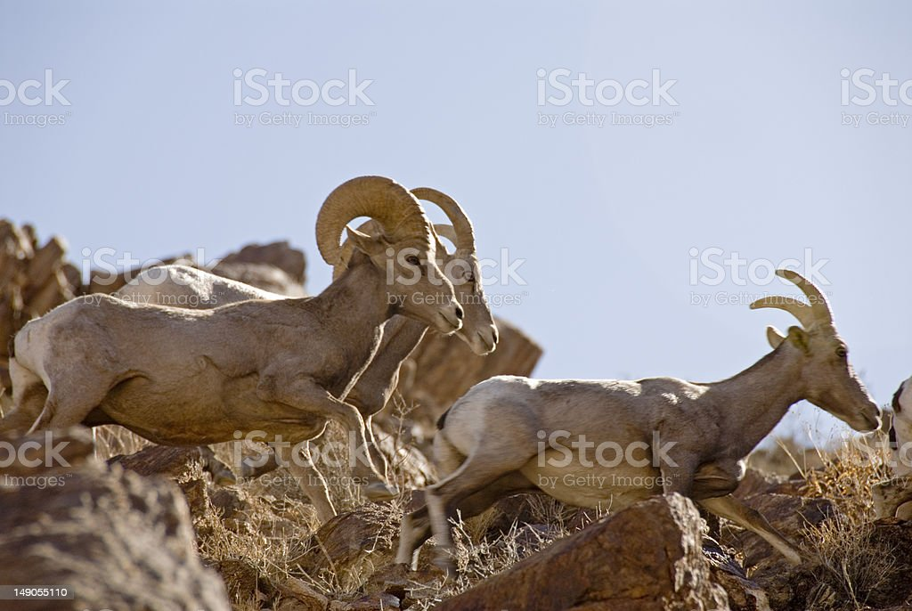 Bighorn Sheep running stock photo