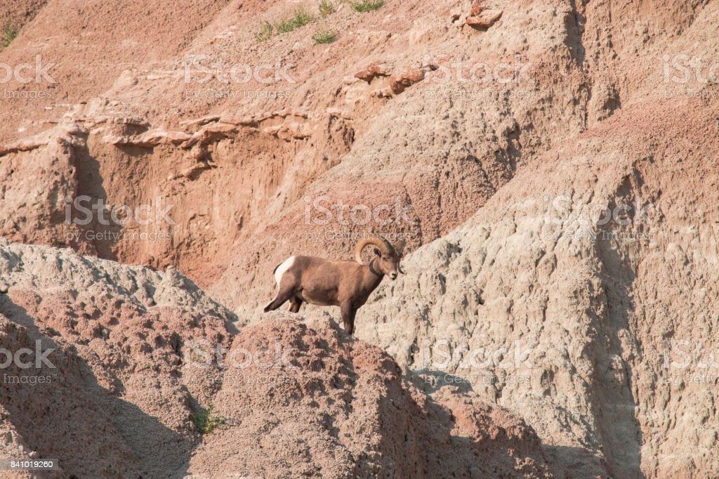 Bighorn sheep standing on a rock. stock photo