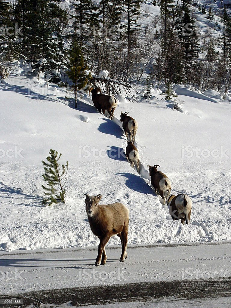 Bighorn sheep, standout stock photo