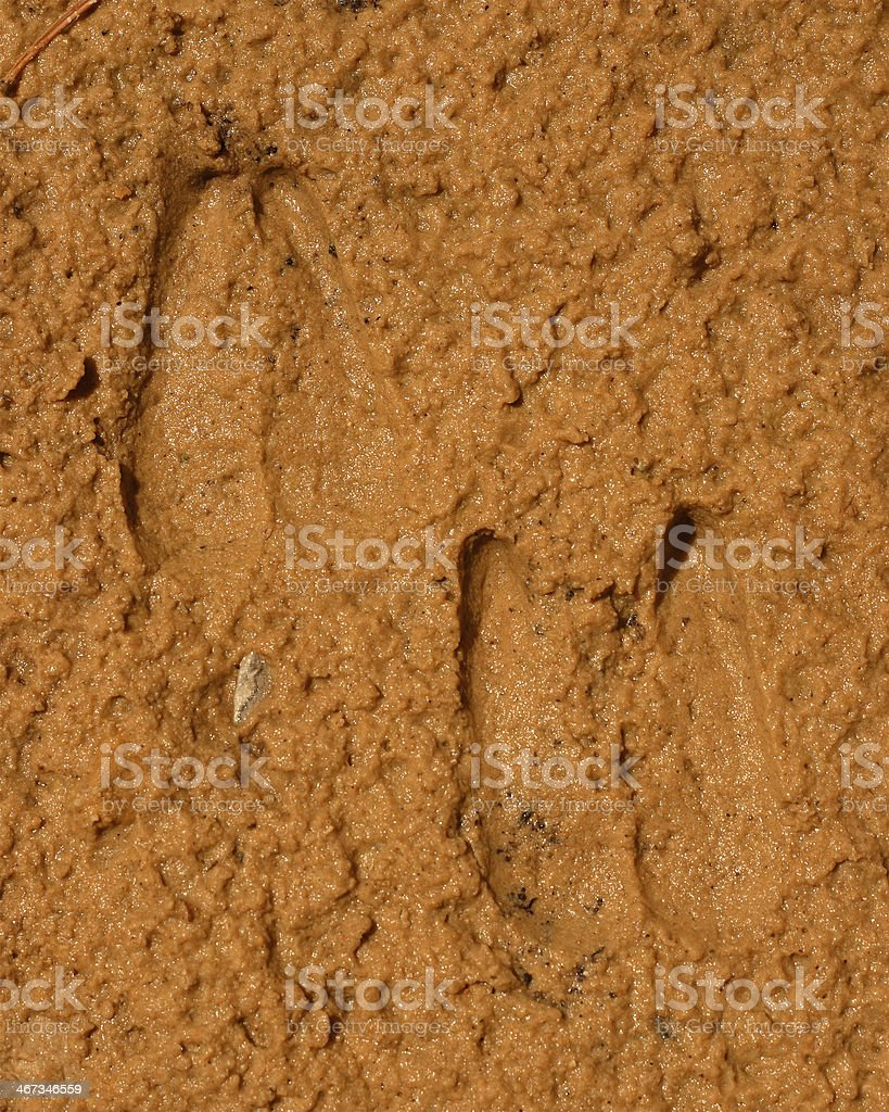 Bighorn Sheep Tracks royalty-free stock photo