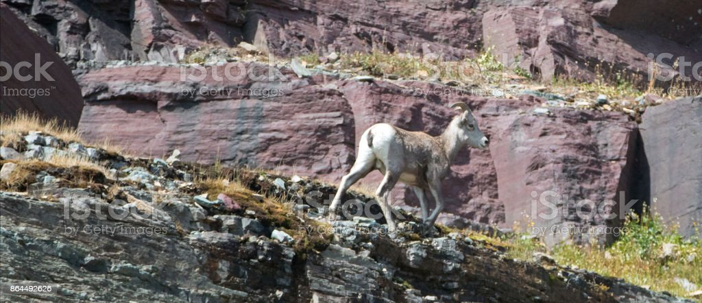Bighorn Sheep walking on edge of cliff below Clements Mountain on Hidden Lake Pass in Glacier National Park in Montana United States stock photo