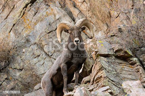 istock Bighorn Sheep Waterton 1290780915