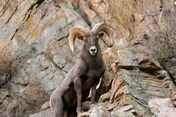 Bighorn Sheep Waterton stock photo