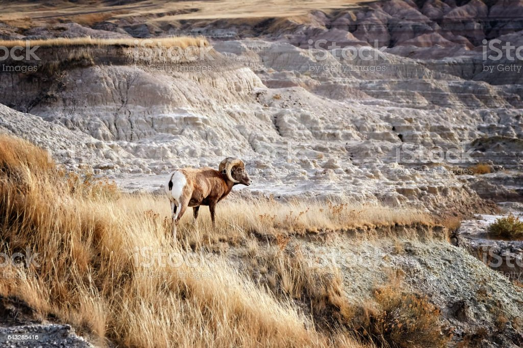 Bighorn Sheep with large curving horns in Badlands National Park. stock photo