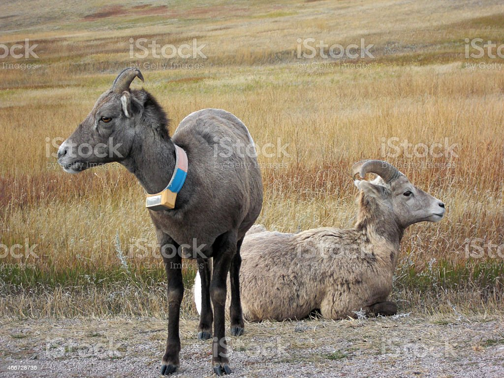Bighorn Sheep With Tracking Collar In Badlands National Park Stock ...