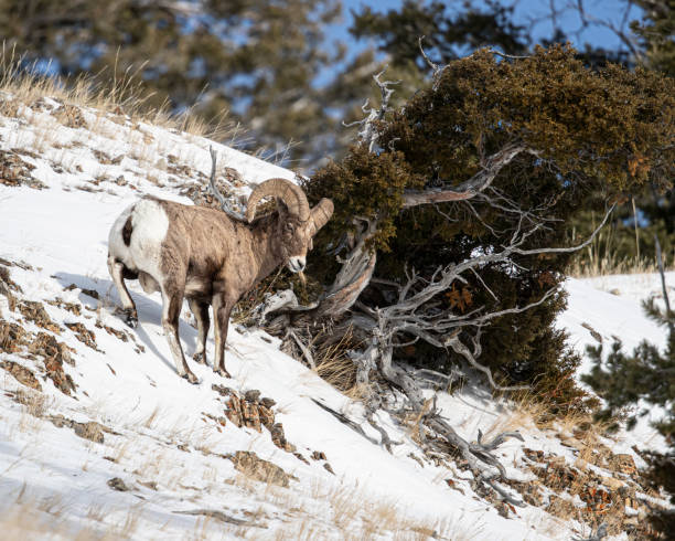 Bighorn Sheep, Yellowstone January 2020 stock photo