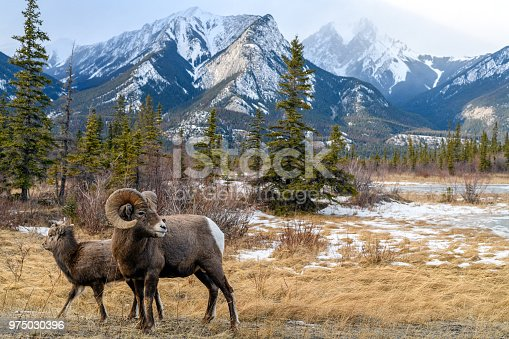 Bighorn sheeps (Ovis canadensis) in the landscape, Jasper National Park, Alberta, Canada